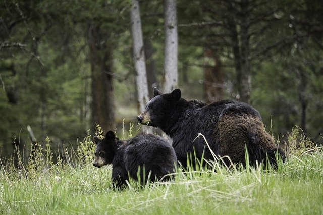 Wi-Fi Cell Towers at Yellowstone National Park Poses Threats to Wildlife: Jackson Hole News and Guide, Smombie Gate | 5G | EMF
